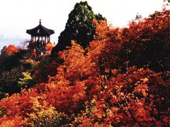 香山红叶进入最佳观赏期 红叶变色率已达61%